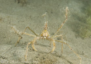 Long legged spider crab. Criccieth beach. North Wales. D3... by Derek Haslam 